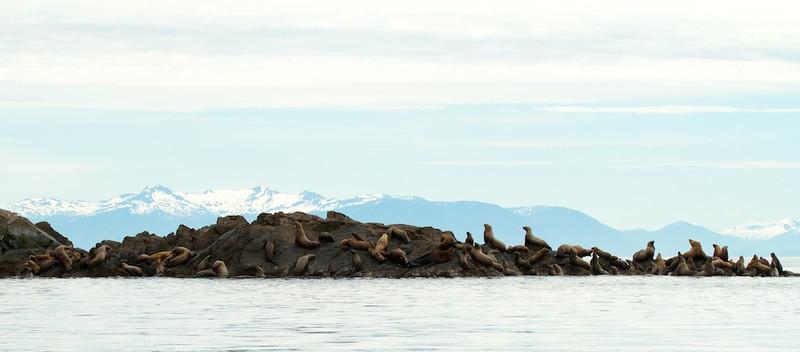 Sea Lion Haul Out - Alaska