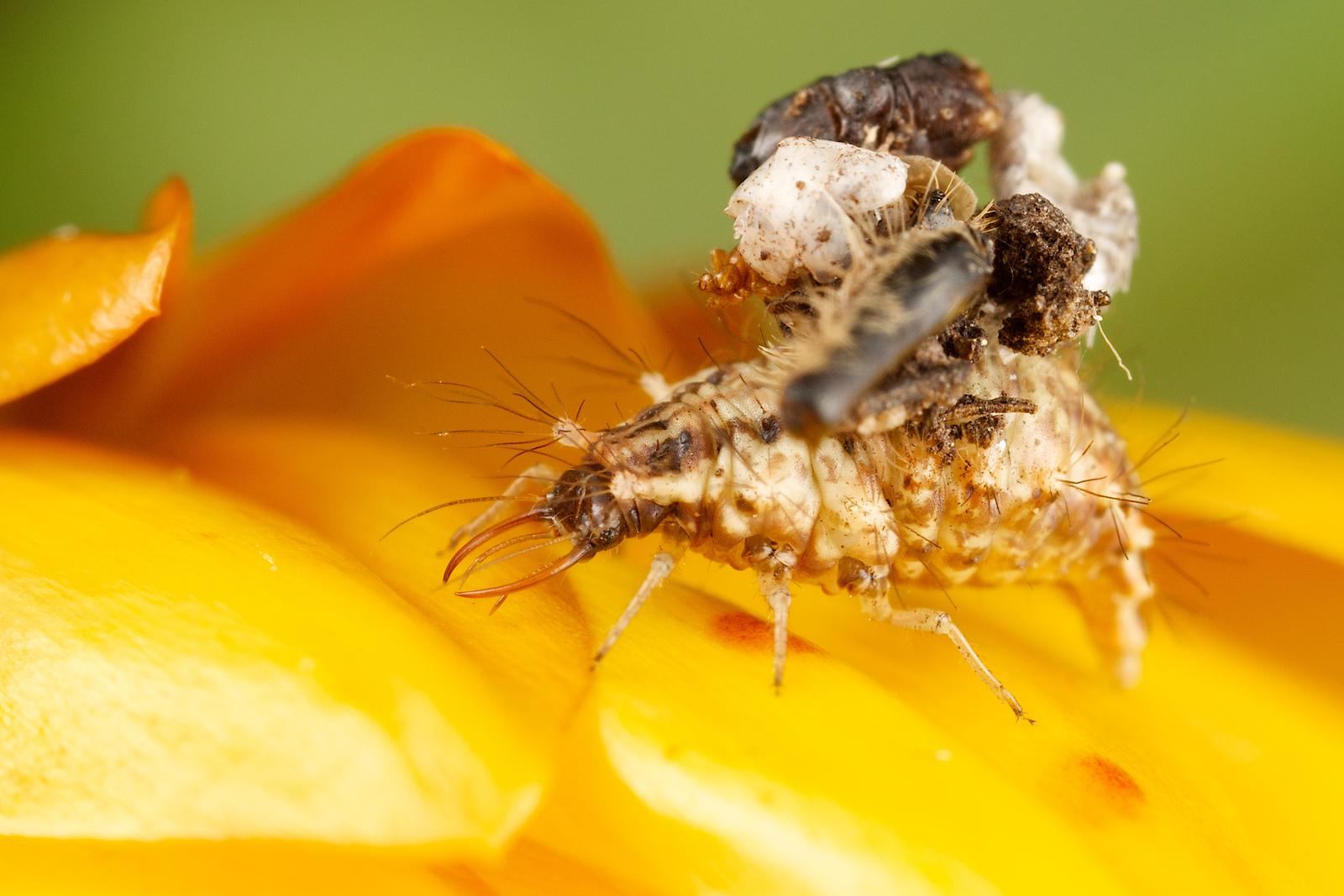 Lacewing on Orange Flower