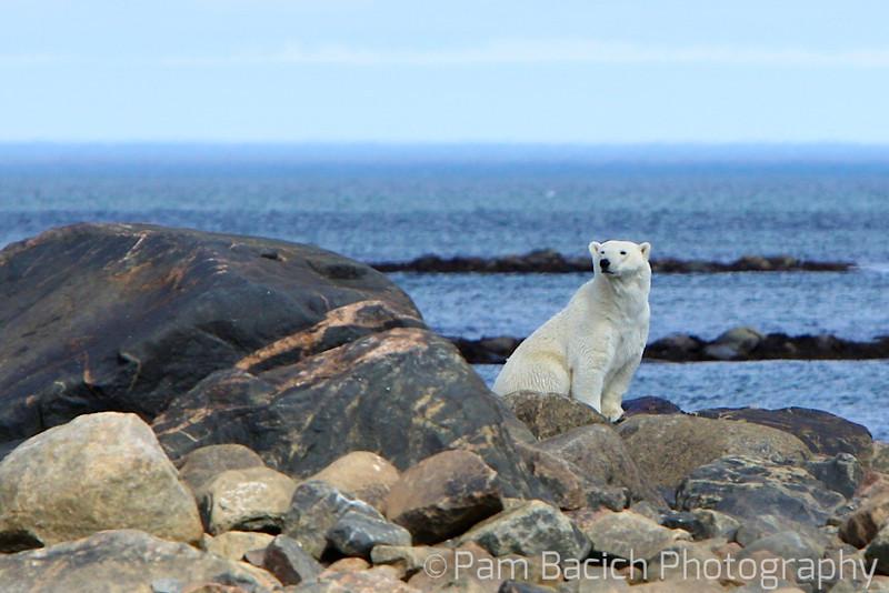 Polar Bear - After a long swim