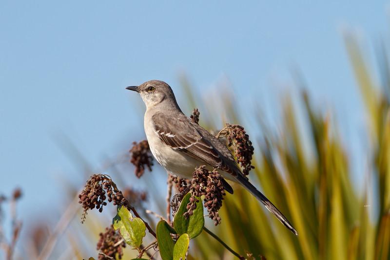 Northern Mockingbird, Merritt Island NWR