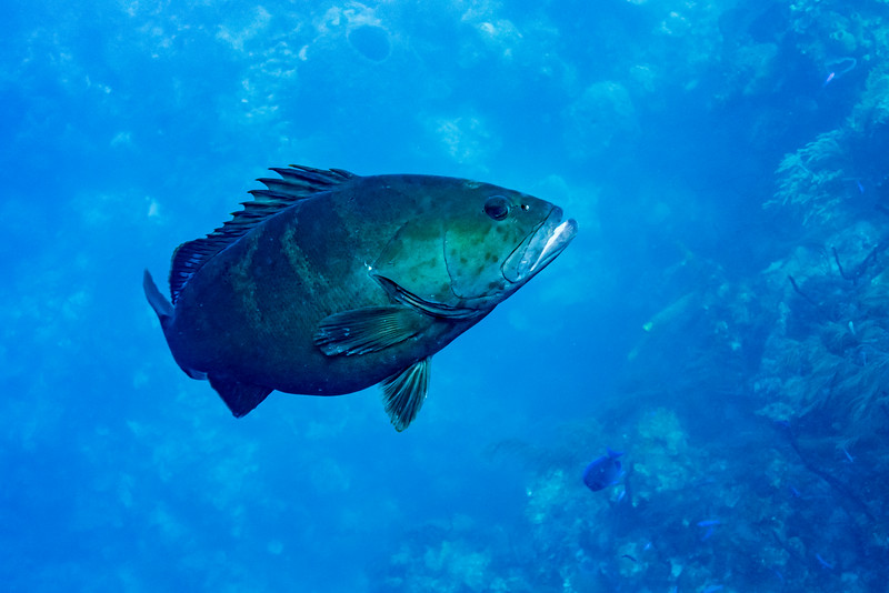 Fish underwater, Tarpon Cayes, Belize Barrier Reef, Lighthouse Reef, Belize