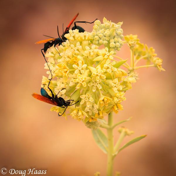 Tarantula Hawk Wasps