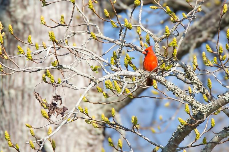 Northern Cardinal - male on budding Sweet Gum tree.