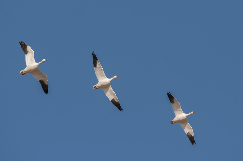 Snow Geese in Flight Eight.jpg