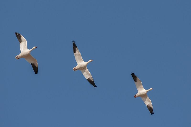 Snow Geese in Flight Eight.jpg