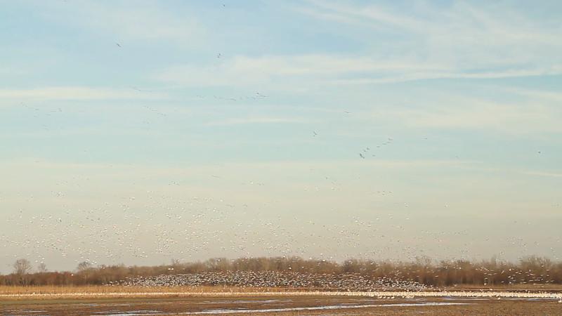 Snow goose blastoff