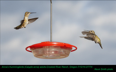 Anna's Hummingbirds A27774.jpg