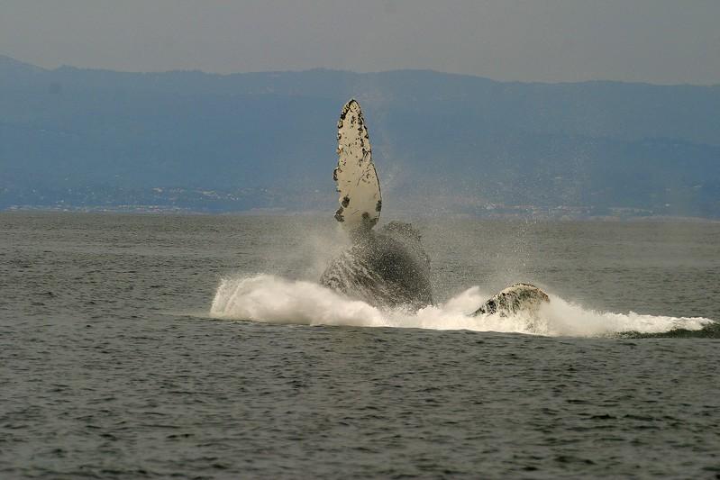Humpback Whale Monterey CA 256_5682 FINAL 2.jpg