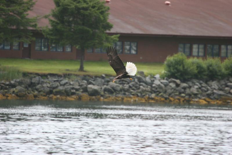 Bald Eagle fishing as we left Sitka
