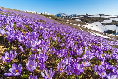 Crocuses on Velika planina - Apr 19-20, 2018