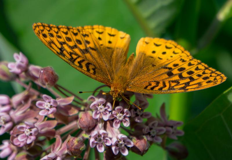 wildlife - mothe on milkweed in apollo county park (p).jpg