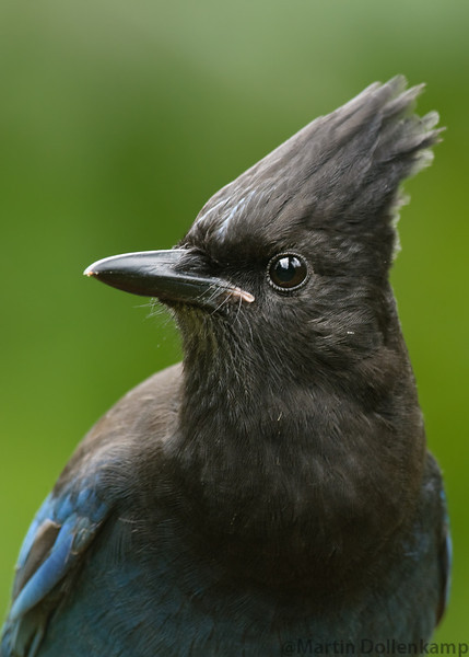 Steller's Jay, I like doing portraits of these intelligent birds since there is so much expression in there faces.