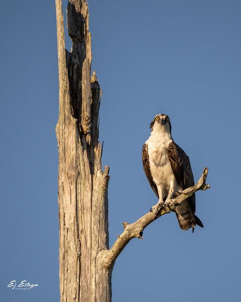 osprey_overwatch.jpg