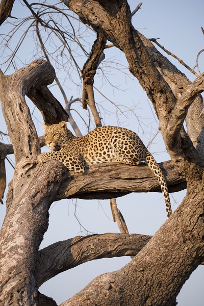Leopard in a tree, Selinda Explorer camp, Botswana