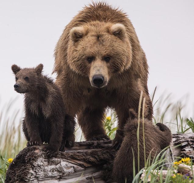 alaska-bears-22.jpg