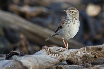Berthelot's Pipit (Anthus berthelotti)