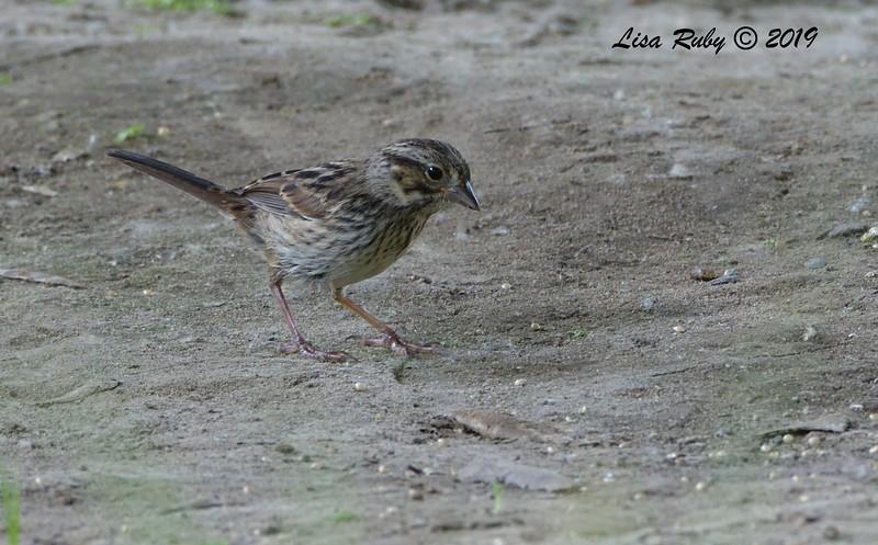 Song Sparrow - 6/28/2019 - Sabre Springs Creek area