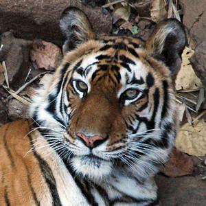 2006 & 2009 - India - Tiger Safaris
