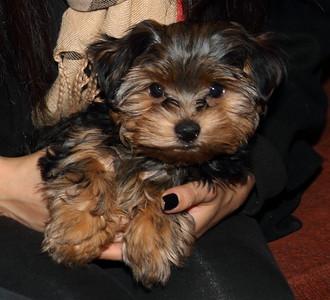 Veronica - Bought Yorkie Puppy - Big Frank