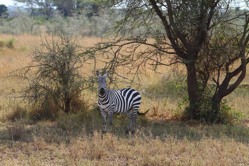 Zebra in the Shade.JPG