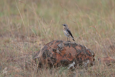 Wheatear, Northern