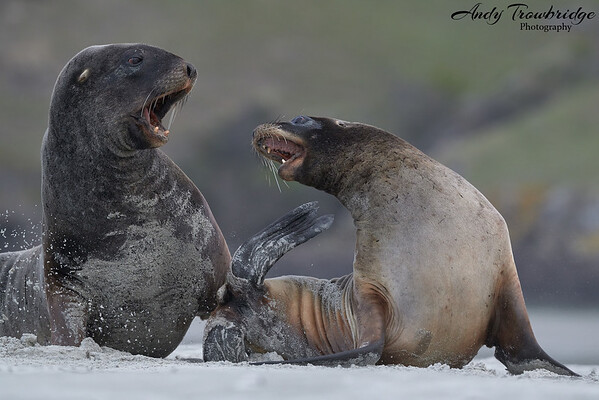 New Zealand Sealion