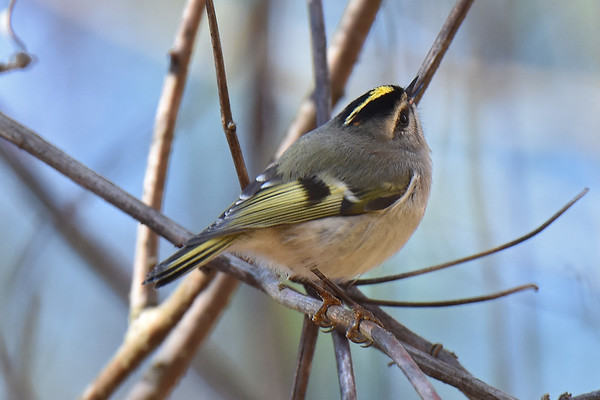 Kinglets (Golden Crowned)