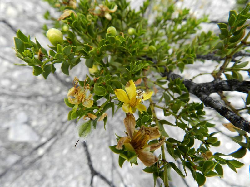 Creasote flower.jpg