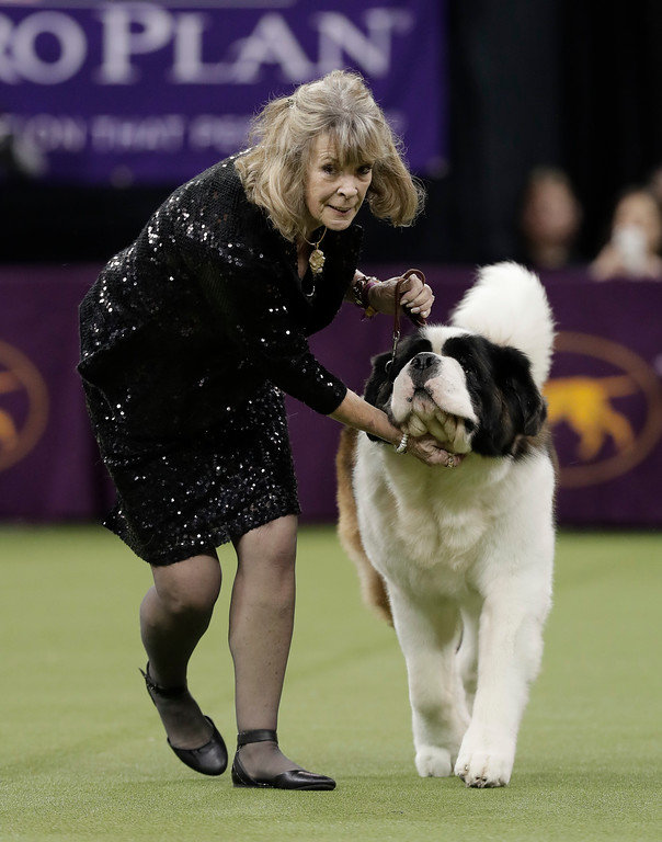 . A handler guides a Saint Bernard around the ring during the working group competition at the 141st Westminster Kennel Club Dog Show, Tuesday, Feb. 14, 2017, in New York. (AP Photo/Julie Jacobson)