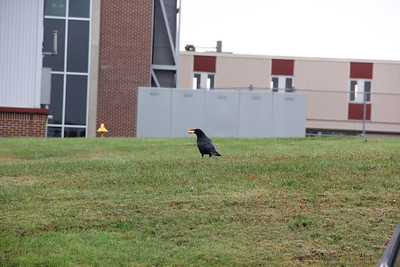 Hungry Crows, St. Luke's Hospital, Coaldale (10-22-2014)