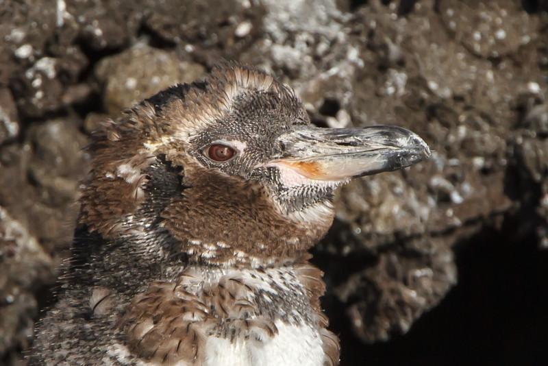 Galapagos Penguin at Elizabeth Bay, Isabela, Galapagos, Ecuador (11-23-2011) - 739.jpg