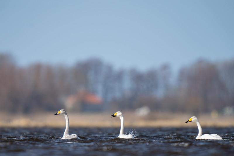łabędź krzykliwy | whooper swan | cygnus cygnus