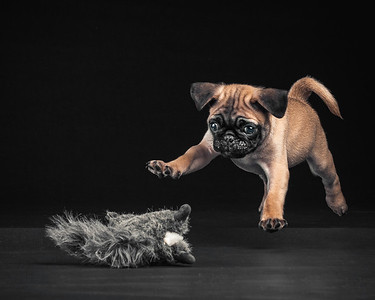 Hondo The Pug