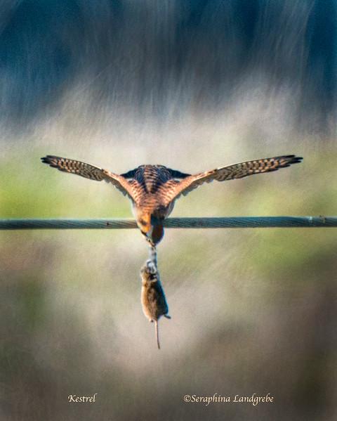 _DSC1233Kestrel mouse winging.jpg