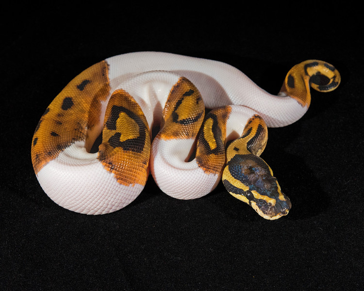 Piebald M0314,  sold Chrissy R.