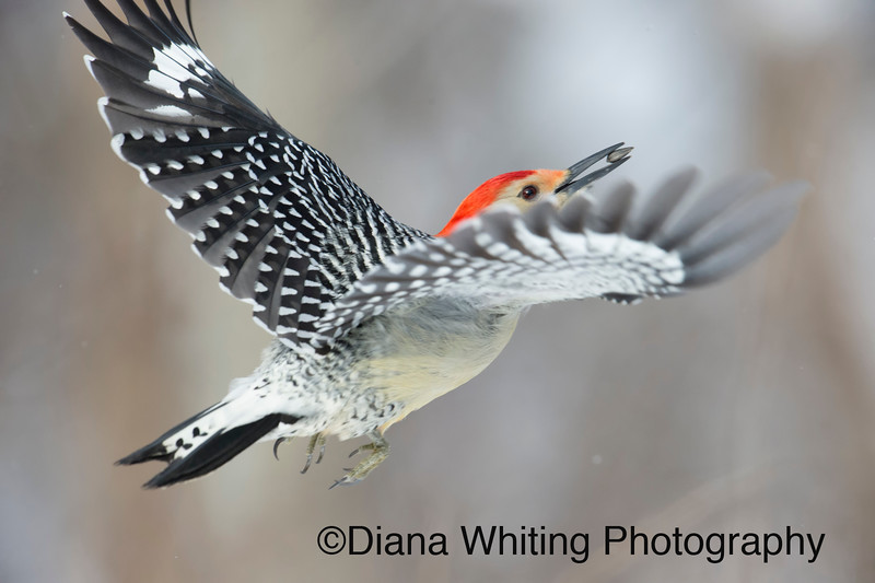 Red-bellied Woodpecker Flies with Sunflower Seed