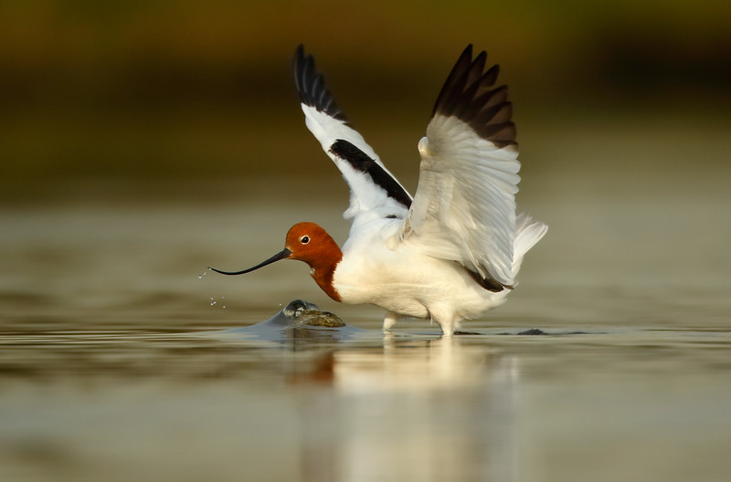 Red-necked Avocet wings up MASTER.jpg