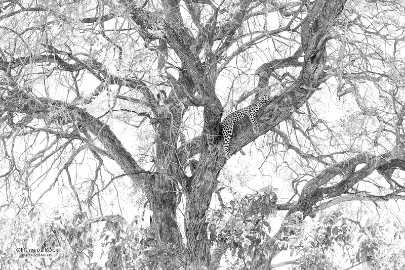 Leopard, b&w, Khwai River Concession, Botswana, May 2017-3.jpg