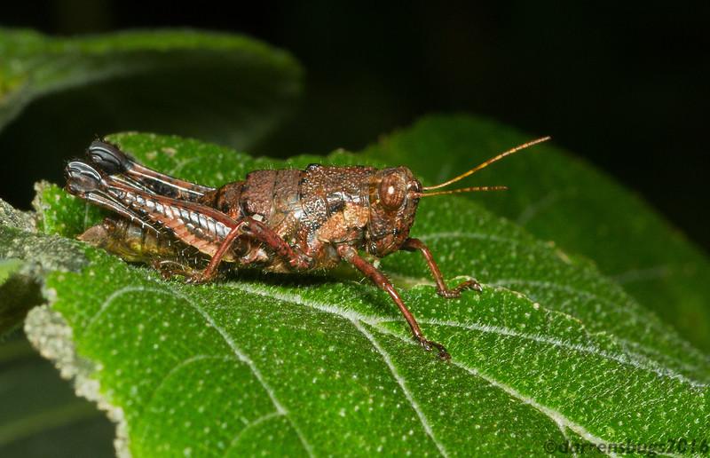 Rusty-looking grasshopper (Acrididae: Ommatolampidinae: Rhachicreagra sp.) from Monteverde, Costa Rica.