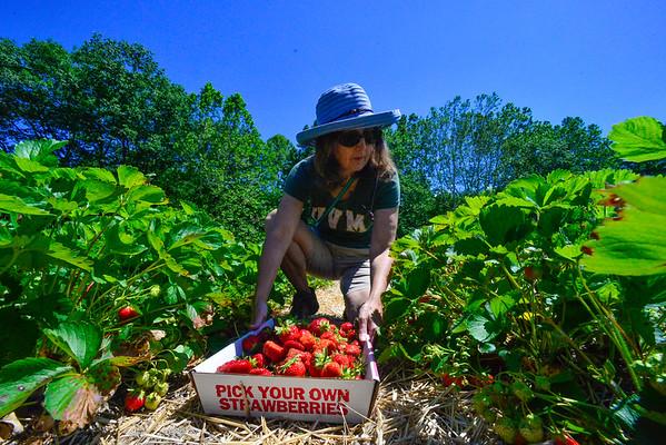 Strawberry picking - 062819