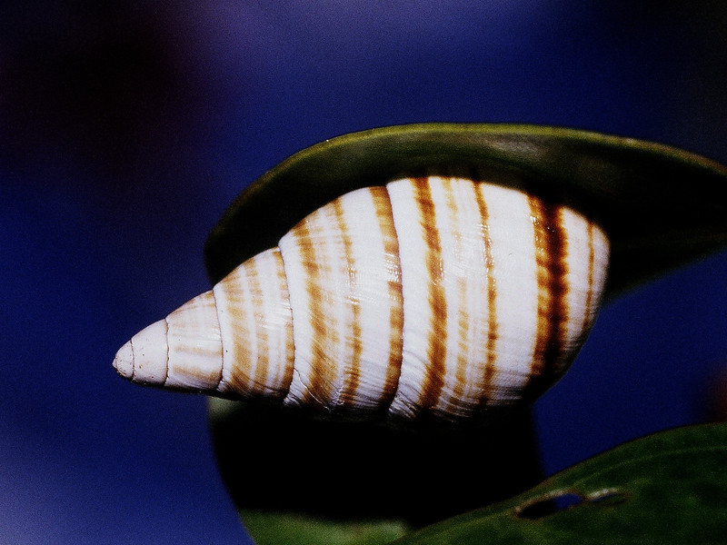 Partulina splendida, West Maui