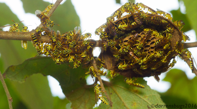 Paper wasps (Polistinae: Polybia emaciata) build a nest in the Panamanian rainforest.