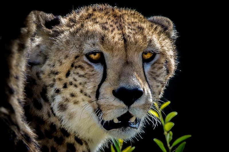 Cheetahs-0211.jpg