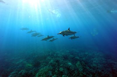 Breeze Hawaii's dolphin swim (ブリーズハワイのドルフィンスイム)