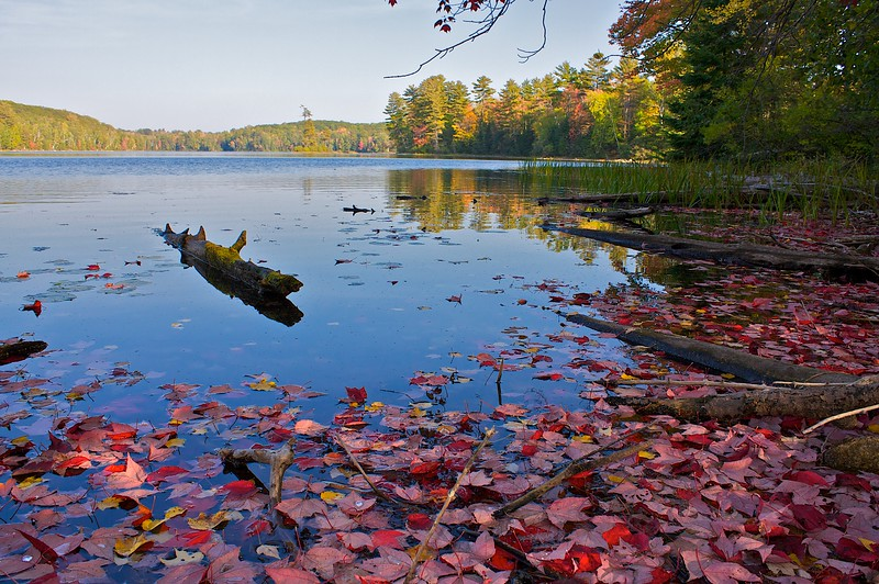 Fallison Lake shoreline under a red maple. Northern Highlands American Legion State Forest.. Wisconsin.