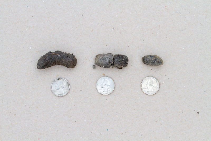 Boreal Owl pellets coughed up at Admiral Road feeders Jan-Feb 2020 Sax-Zim Bog MN IMG_0372.jpg