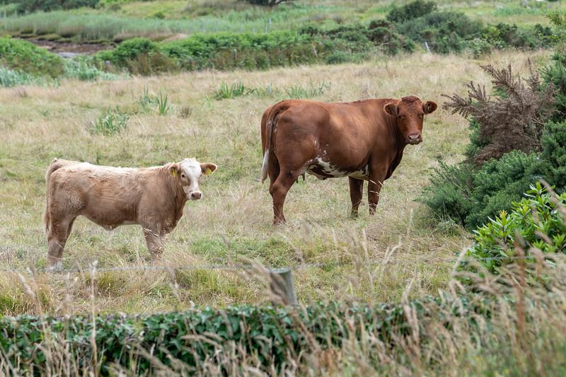Cattle on a farm, Glenamoy, County Mayo, Ireland