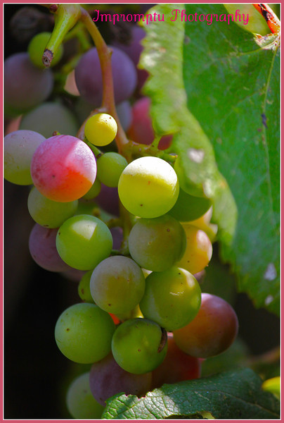 August19, 2011. Grapes.