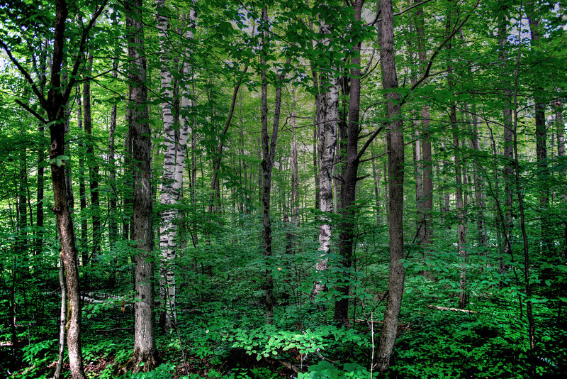 Tranquillity --Summer Forest, Southern  Vermont #489