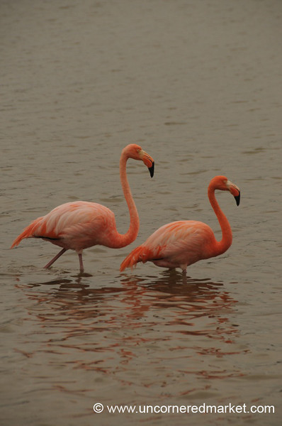 Flamingo Pair - Galapagos Islands